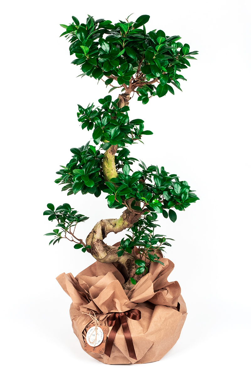 Big Gift Ficus Bonsai