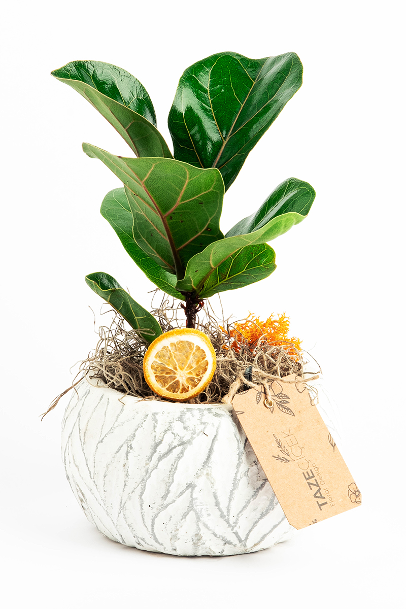 Ficus Lyrata in White World