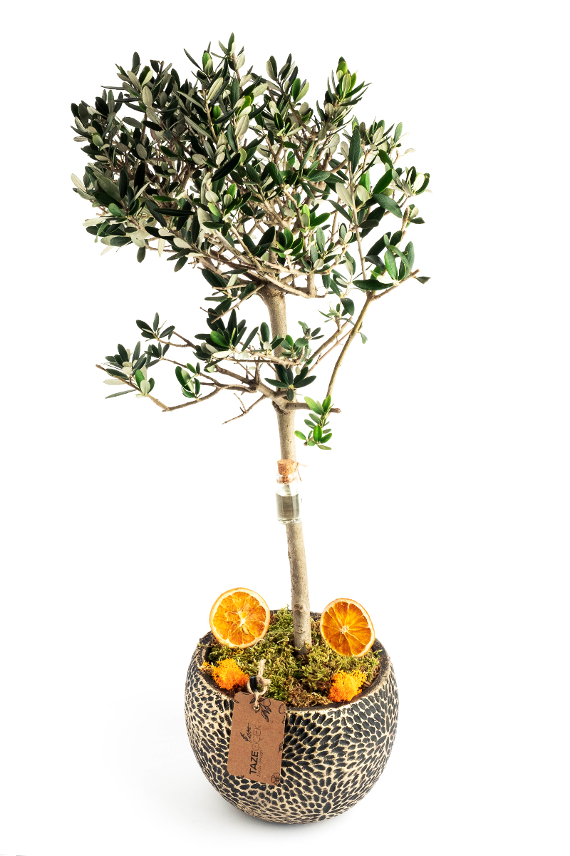 Olive Tree with Decorative Pot