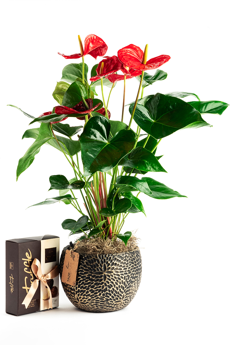 Big Anthurium with Delicious Truffle