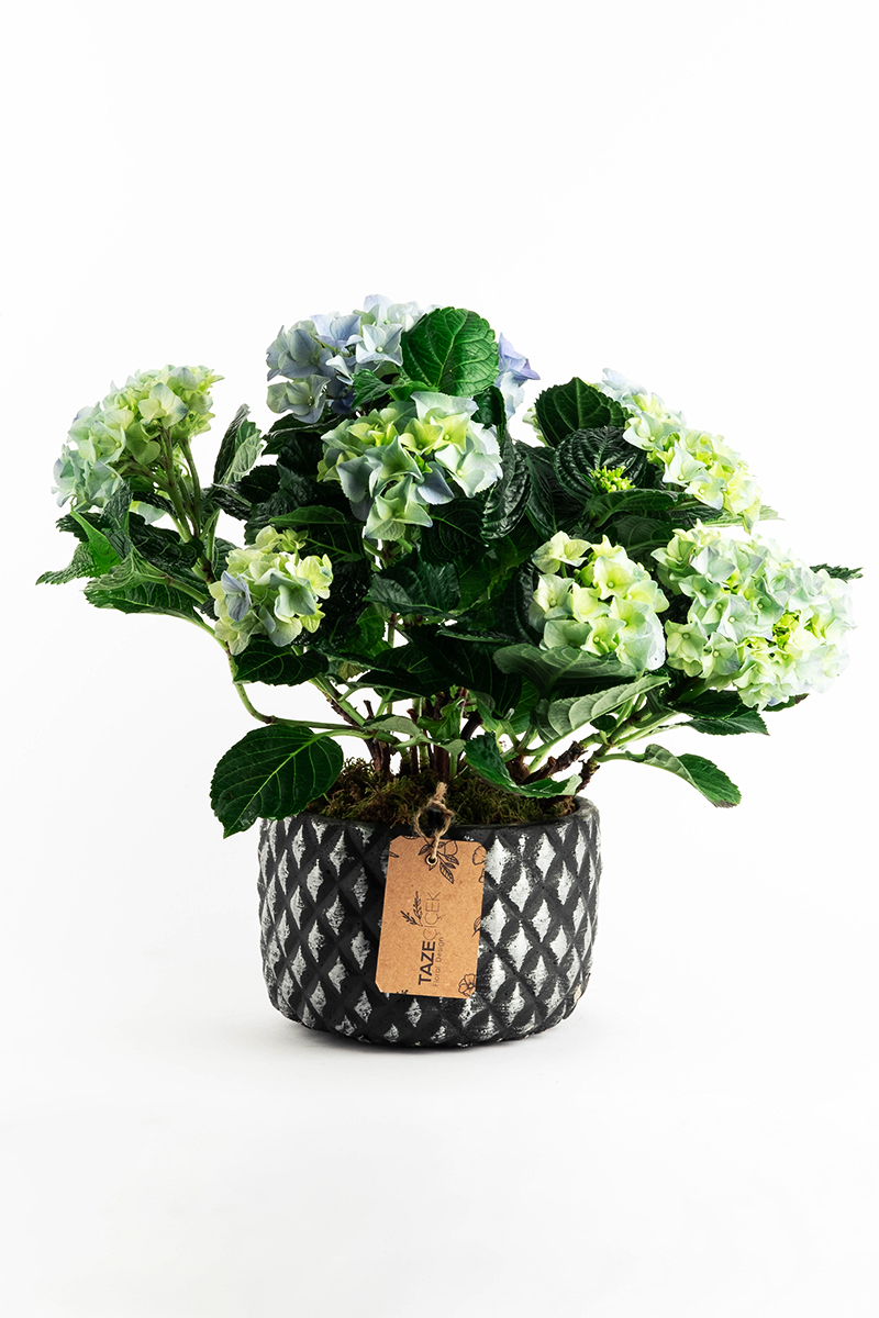 Blue and Green Hydrangea in Black Pot