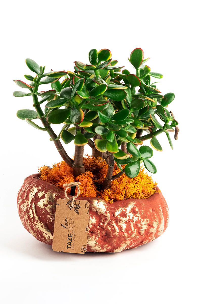 Crassula Bonsai in Desert Pot