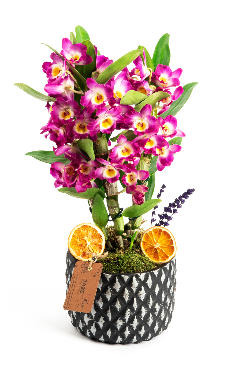 Dendrobium in Black Pot