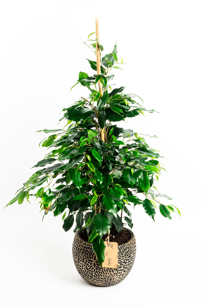 Ficus Benjamin in Decorative Pot