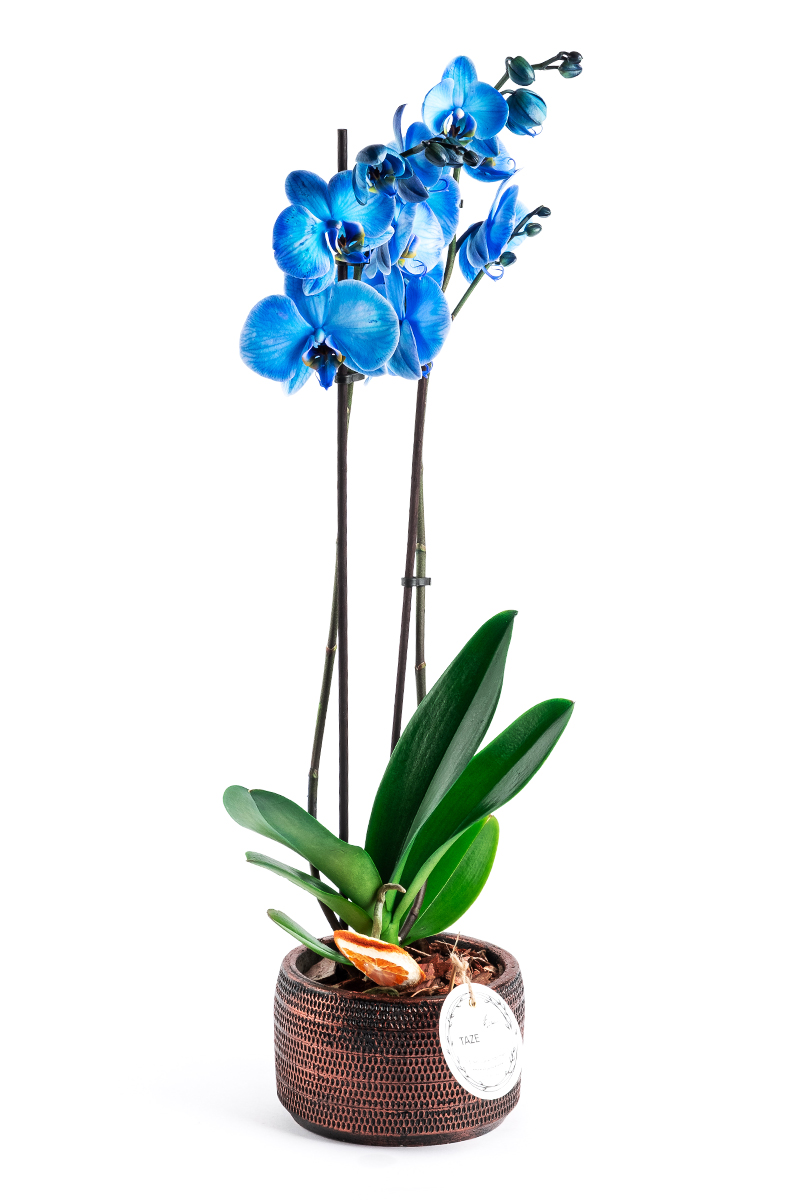 Blue Orchid in Decorative Pot