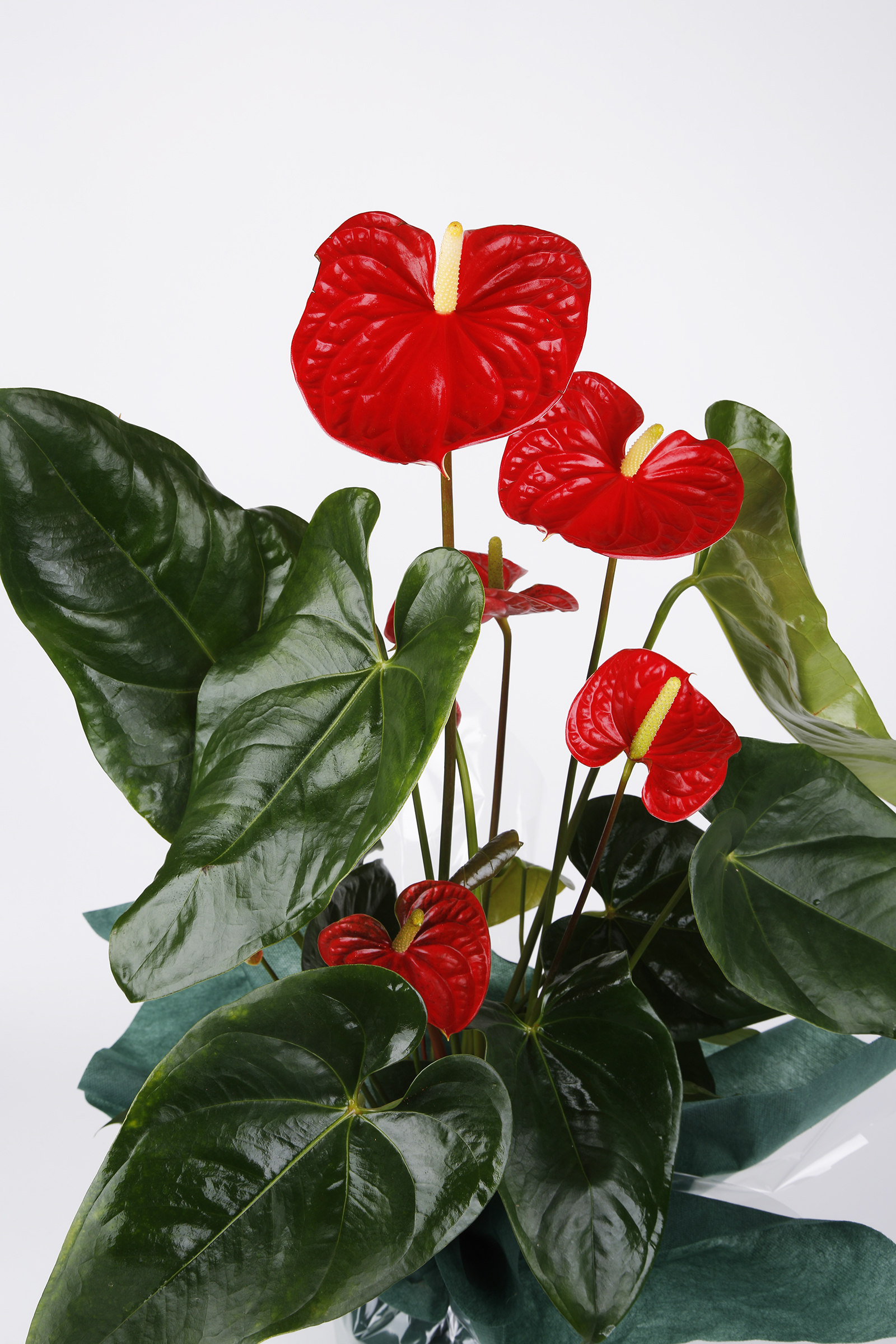 Red Anthurium Çiçeği